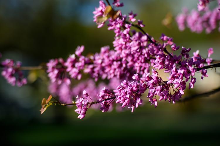 Purple Blossoms DPS