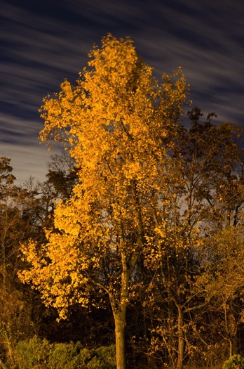Yellow leaved tree moving clouds at night