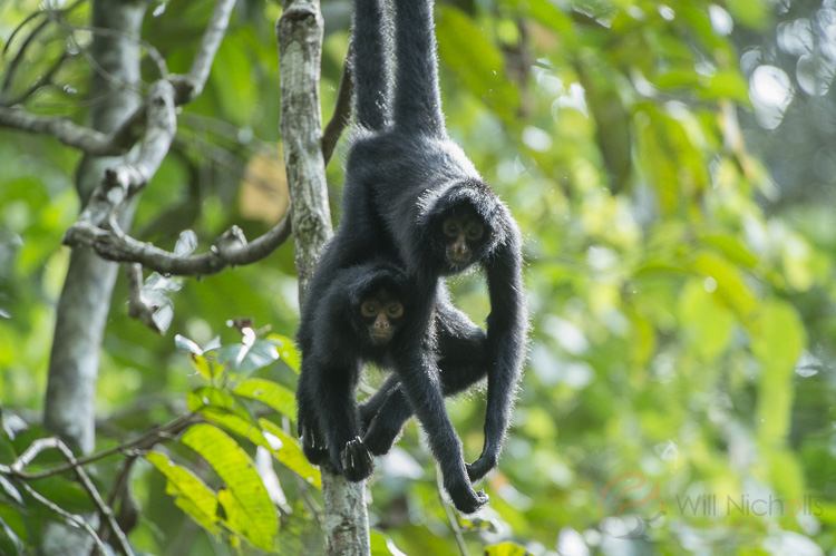 A male and female black-faced spider monkey stick together in the Peruvian Amazon Rainforest. These two individuals are displaying courting behaviour.