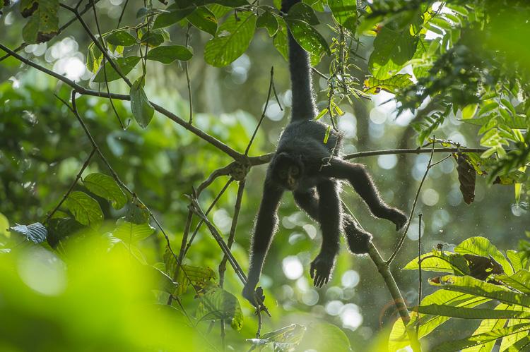 A backlit Peruvian spider monkey in the Amazon Rainforest in Manu, Peru.