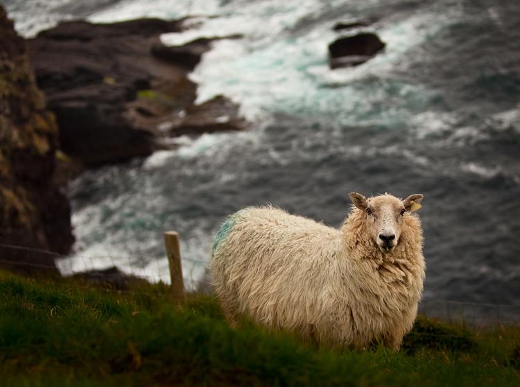 Dingle-Sheep