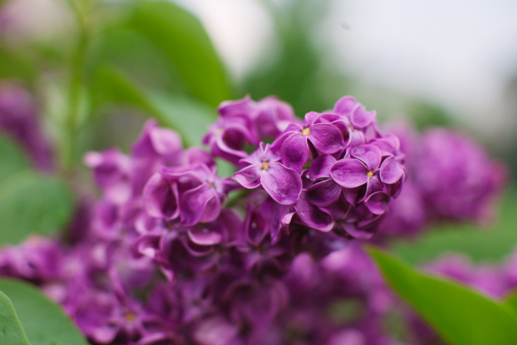 Memorable Jaunts DPS Article What you want to know - Lilacs in the rain-1