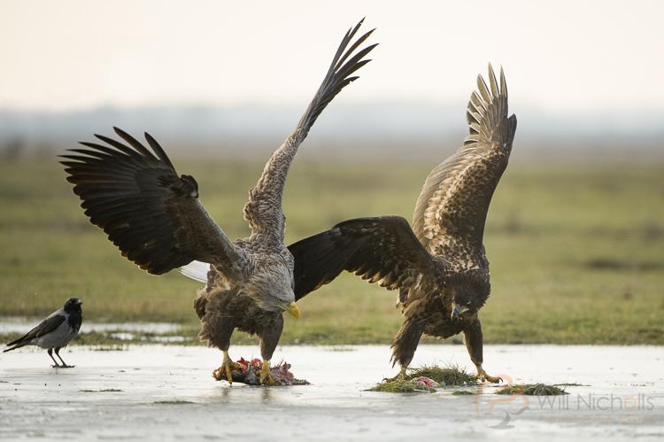 white tailed eagles