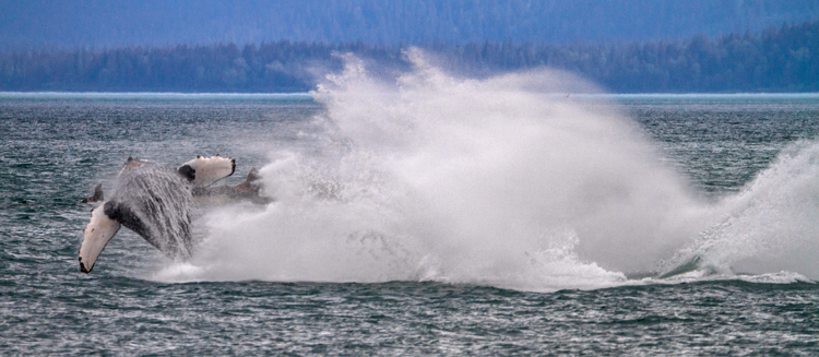 Breaching humpback whales, Alaska, USA