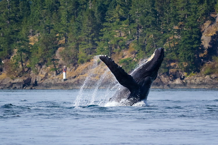 Humpback whale breaching near Campbell River, British Columbia