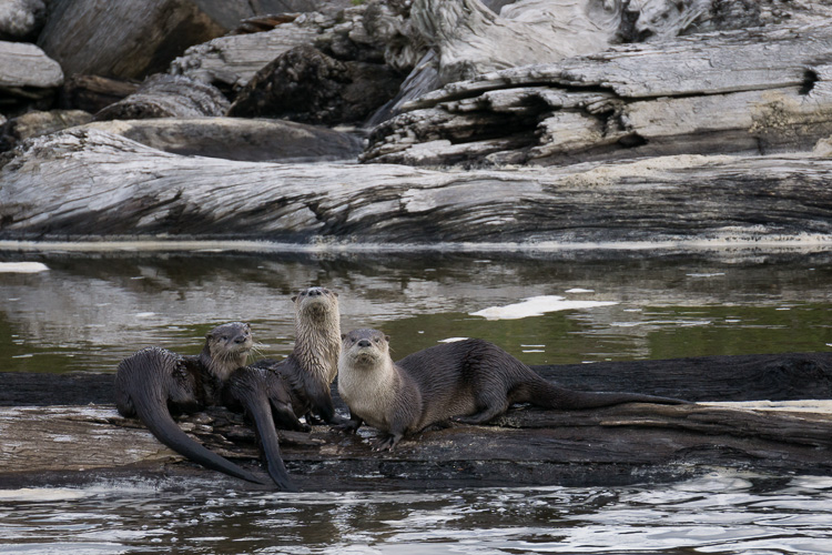 River Otters, Redwood National Park, California