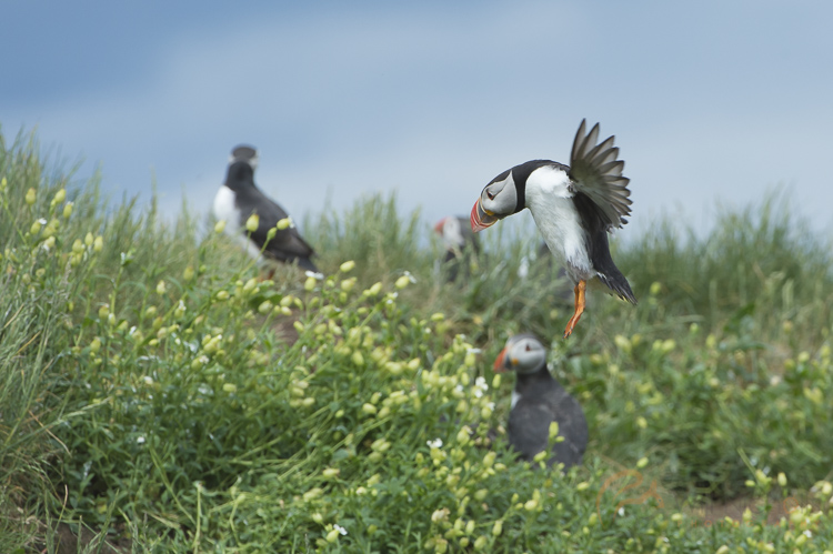 Tracking this puffin in flight, I'd never be able to change the settings quick enough if I was in full manual mode.