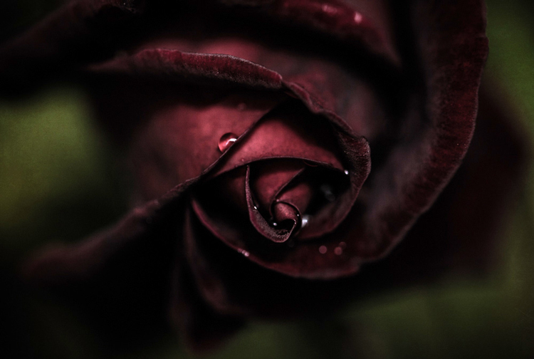 SHILL Article1 dark red rose