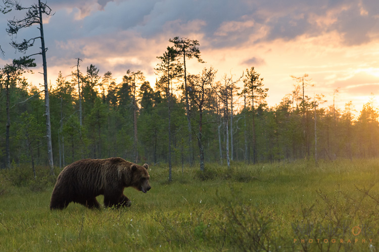 Brown Bear at Sunset