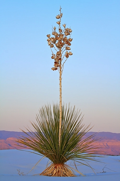 Yucca at White Sands National Monument, New Mexico by Anne McKinnell