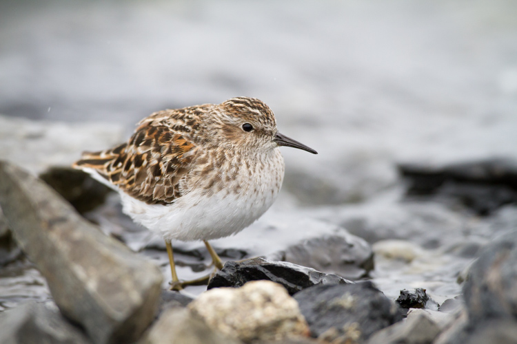 While an image of single bird, in this case a Least Sandpiper is nice portrait, it is more of an illustration than a story.