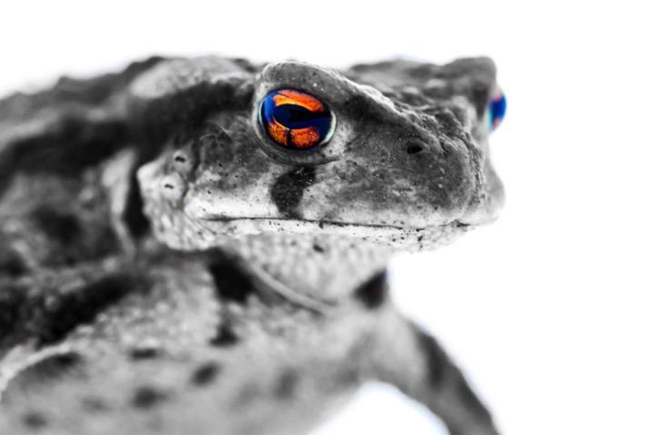 Lightbox macro photography 001 toad