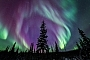 The northern lights or aurora borealis burst to light over spruce trees north of Fairbanks, Alaska.