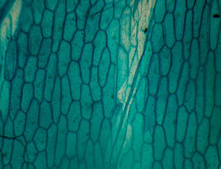 photomicroscopy photomicrograph micrograph - onion skin