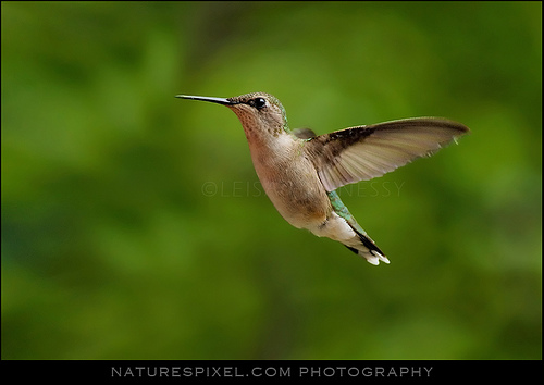 Humming Bird Photo - Case Study